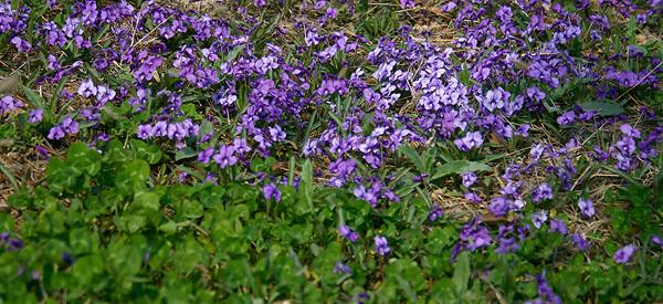 赛罕塔拉公园紫花是