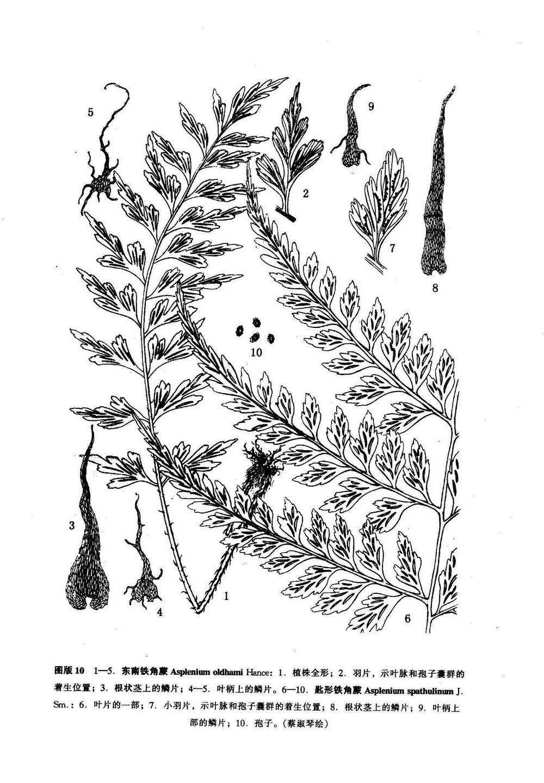 东南铁角蕨(新拟)俄氏铁角蕨(台湾植物志)图版10: 1-5