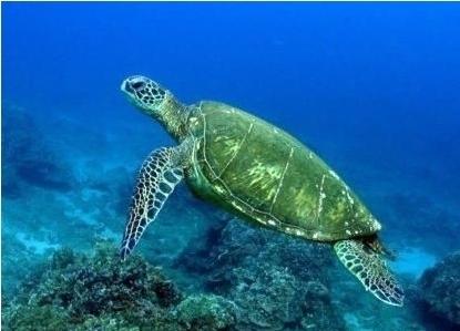 和多数其他爬行动物相似,绿海龟的性别取决于龟卵孵化期第三至五周(即