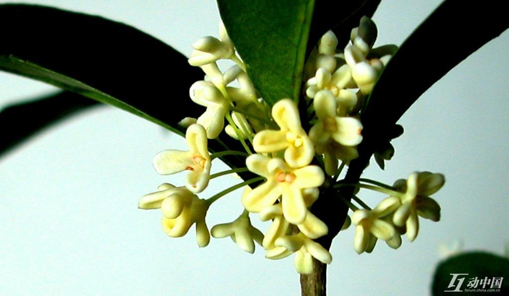 桂花树图片网